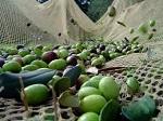 COLDIRETTI LAZIO: OLIO D'OLIVA, PRIME STIME PREVEDONO CALO DI QUASI IL 40% DELLA PRODUZIONE
