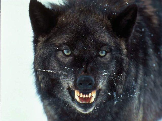 Coldiretti Viterbo: ennesimo assalto di gregge da parte di un branco di lupi