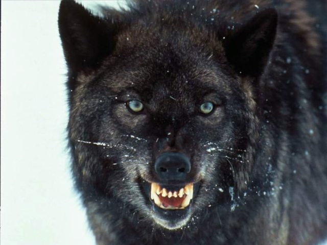 Danni da fauna selvatica, continuano gli attacchi dei lupi.