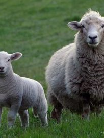 https://lazio.coldiretti.it/wp-content/uploads/2018/07/sheep-2625347__340-204x270.jpg