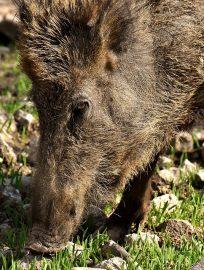 https://lazio.coldiretti.it/wp-content/uploads/2018/10/wild-boars-3363665_960_720-204x270.jpg