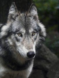 https://lazio.coldiretti.it/wp-content/uploads/2018/11/wolf-3241382_1280-1-204x270.jpg